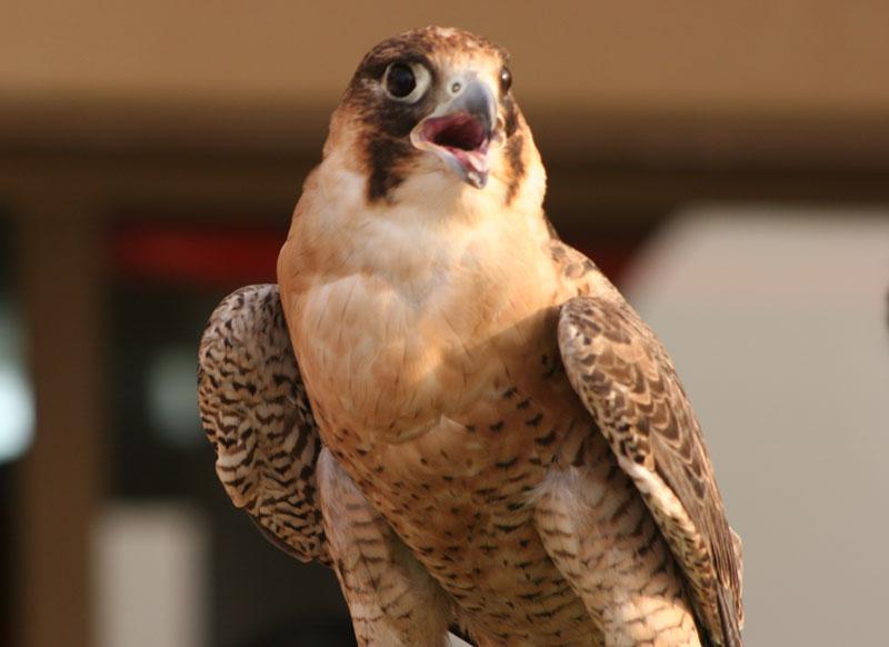 Resultado de imagen para el halcón hembra