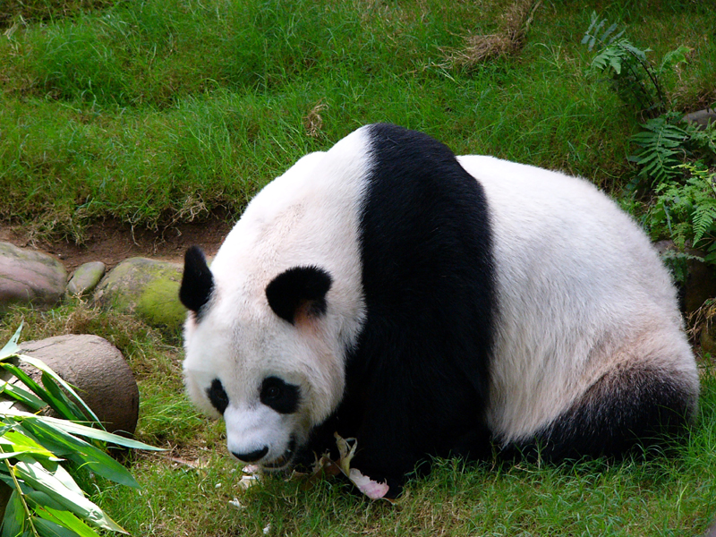 What Is the Pandas Natural Habitat  Animals  momme